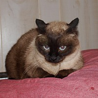 Siamese Cat for adoption in Jackson, Mississippi - Kit Kat
