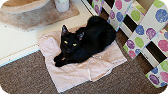 Domestic Shorthair Cat for adoption in Maryville, Tennessee - Sabrina