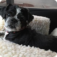 Shih Tzu Mix Dog for adoption in Alpharetta, Georgia - Ritzer