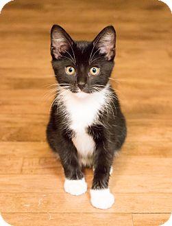 Domestic Shorthair Kitten for adoption in Chicago, Illinois - Elliot