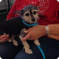 Adopt A Pet :: Bear Paw - Golden Valley, AZ