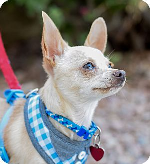 Chihuahua Mix Dog for adoption in Gilbert, Arizona - Quinton