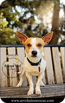 Terrier (Unknown Type, Small) Mix Dog for adoption in Lincoln, Nebraska - Sawyer and Zane