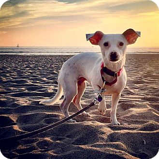 Dachshund/Terrier (Unknown Type, Small) Mix Dog for adoption in Marina del Rey, California - Bianca
