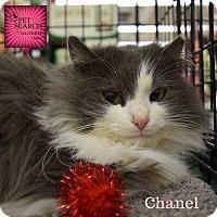 Adopt A Pet :: Chanel - Washington, PA