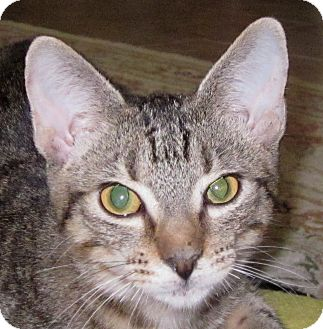 Domestic Shorthair Cat for adoption in Winchester, California - Kyle