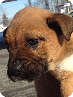 Boxer/Shar Pei Mix Puppy for adoption in Somers, Connecticut - Boxer mix pups
