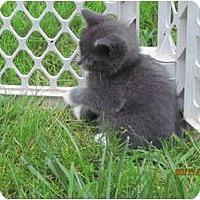 Adopt A Pet :: Onyx - Oxford, CT
