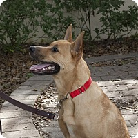 Adopt A Pet :: shane - hollywood, FL