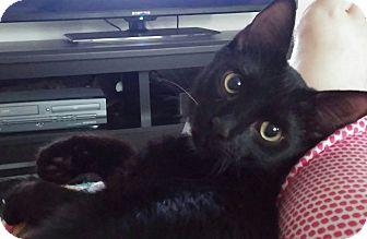 Domestic Shorthair Cat for adoption in Ocala, Florida - Harley
