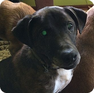 Plott Hound Mix Dog for adoption in Indianapolis, Indiana - Austin