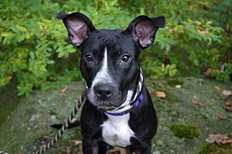 Pit Bull Terrier Mix Dog for adoption in Elizabethtown, Pennsylvania - Raven