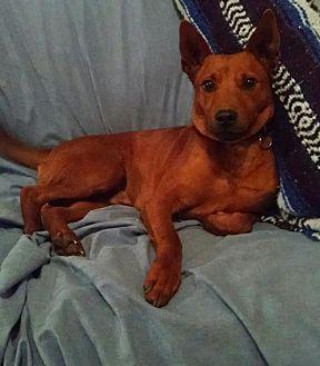 Ibizan Hound Mix Dog for adoption in Cherry Valley, California - Kelly