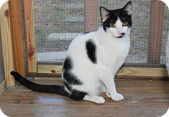Domestic Shorthair Cat for adoption in Youngsville, North Carolina - Mandy