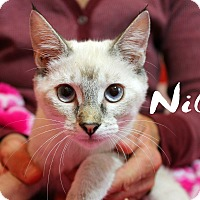 Siamese Kitten for adoption in Wichita Falls, Texas - Nilla