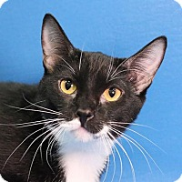 Adopt A Pet :: Addie - Overland Park, KS