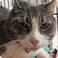 Adopt A Pet :: Brutus - Medina, OH
