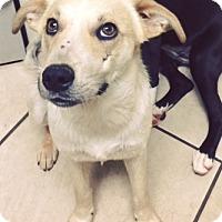 Adopt A Pet :: Butter - Hopkinton, MA