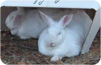 New Zealand Mix for adoption in Santee, California - Caliope