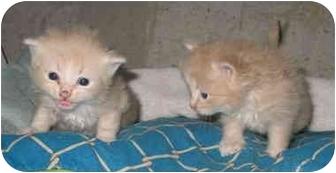 Domestic Shorthair Kitten for adoption in Cincinnati, Ohio - Jennifers Male kitts