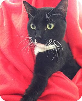 American Shorthair Cat for adoption in Whitestone, New York - Prince