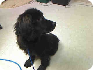 Golden Retriever/Cocker Spaniel Mix Puppy for adoption in Antioch, Illinois - Charlie ADOPTED!!