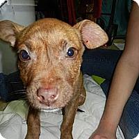 Adopt A Pet :: Amy - South Jersey, NJ