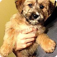 Adopt A Pet :: Bear - Inglewood, CA