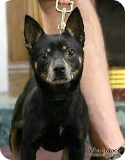 Chihuahua Mix Dog for adoption in Detroit, Michigan - LuLu *Requires Medication*