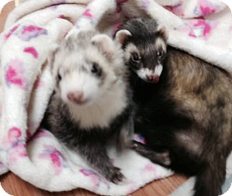 Ferret for adoption in Fawn Grove, Pennsylvania - Juliet