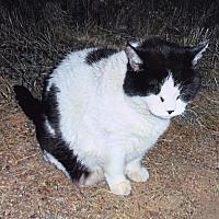 Adopt A Pet :: Harley Fat Cat - McArthur, CA