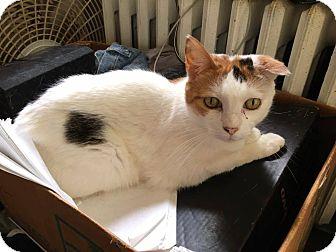 Domestic Shorthair Cat for adoption in Media, Pennsylvania - Molly