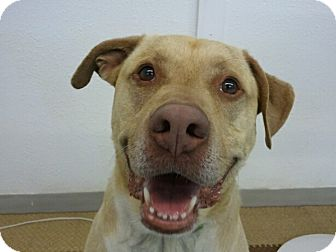 Labrador Retriever Mix Dog for adoption in Cedar Rapids, Iowa - Luke