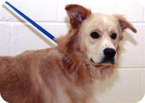 Golden Retriever Mix Dog for adoption in Lebanon, Maine - Ryder-URGENT in GA