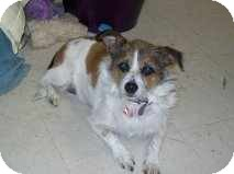 Jack Russell Terrier Mix Dog for adoption in Houston, Texas - Jill in Houston