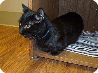 Munchkin Cat for adoption in Medina, Ohio - Mickey