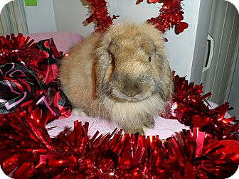 American Fuzzy Lop Mix for adoption in Hillside, New Jersey - Nutmeg