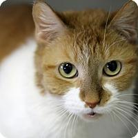 Adopt A Pet :: Irma Apricot - Chicago, IL