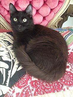Maine Coon Kitten for adoption in Sunny Isles Beach, Florida - Rocco DeSpirito