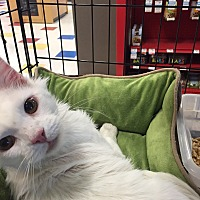 Adopt A Pet :: Captain Cotton - Round Rock, TX
