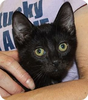 Domestic Shorthair Kitten for adoption in Louisville, Kentucky - Wendy