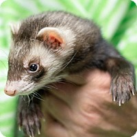 Ferret for adoption in Balch Springs, Texas - Clepto