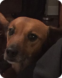 Dachshund/German Shepherd Dog Mix Dog for adoption in Decatur, Georgia - Caray