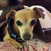 Chihuahua/Dachshund Mix Dog for adoption in San Diego, California - Noah