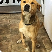 Shepherd (Unknown Type)/Labrador Retriever Mix Dog for adoption in Lewisburg, Tennessee - Patrick