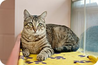 Domestic Shorthair Cat for adoption in Carencro, Louisiana - Tarzan
