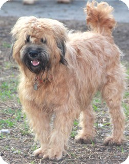 Wheaten Terrier Mix Dog for adoption in Norwalk, Connecticut - Tessa - adoption pending