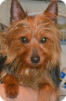 Yorkie, Yorkshire Terrier Dog for adoption in Greensboro, North Carolina - Kidd