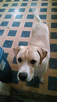 Boxer/Labrador Retriever Mix Dog for adoption in Columbus, Nebraska - Hades