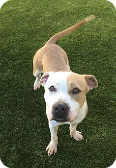 Pit Bull Terrier Dog for adoption in Chicago, Illinois - Miguel--I'm dog-friendly & at the Adoption Center!